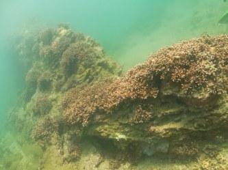 ダイバーが育てた珊瑚の群生